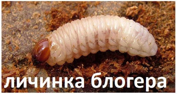 sveklovichniy_dolgonosik_lichinka