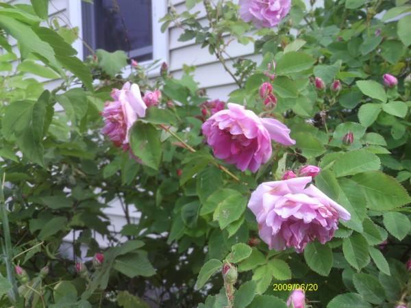 Garden_Albans 004