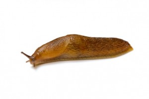 bigstock-Slug-5942759-659x439
