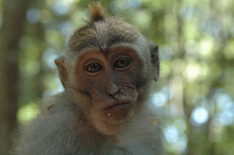Macaca-fascicularis_flk18447014