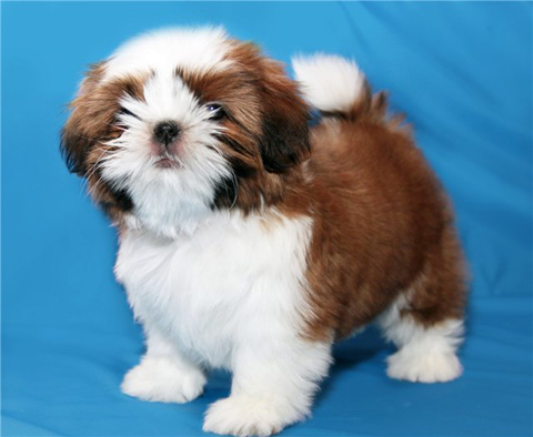 шицу порода собак фото цена