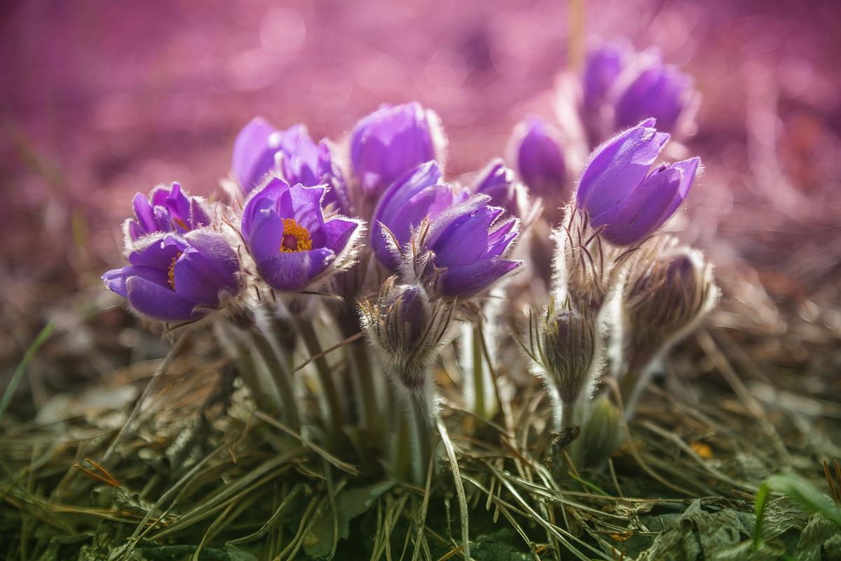 картинка подснежника сон трава только