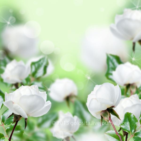 Beautiful white roses green bokeh