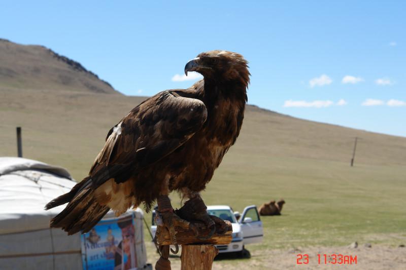 В этой картинке собрана вся Монголия. На юрте плакат-зазывалка : посетите арт-шоп. Рядом затрюханая Тойота хозяина, верблюд на молоко и орел вместо собаки.