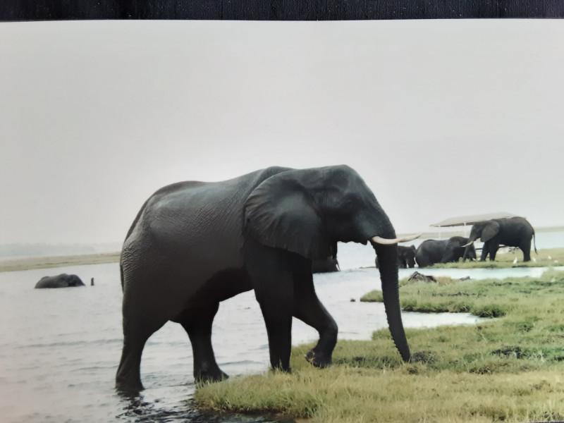 Это зрелище необычное. Слоны из Ботсваны переходят на берег Намибии через речку Чобе.