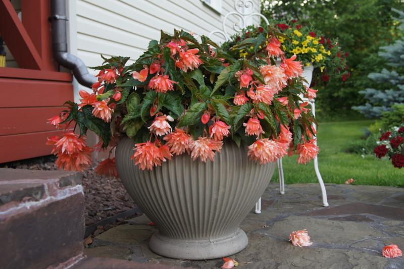 Несчастная ампельная бегония бесконечно сбрасывает цветы, но при этом не забывает плодоносить и далее.