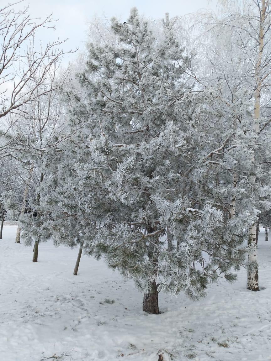 Одинокая сосенка в Парке. Березок здесь посажено намного больше, но живописности в национальной древесине по зиме практически нет.