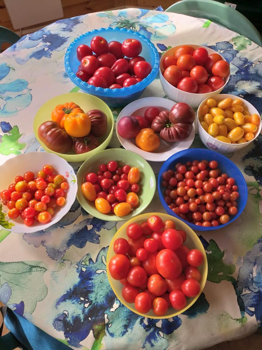 Так, конечно, не каждый день, но через день точно. С июля по сентябрь у нас помидорная диета, ибо стоит сверхзадача сожрать все помидоры свежими.
