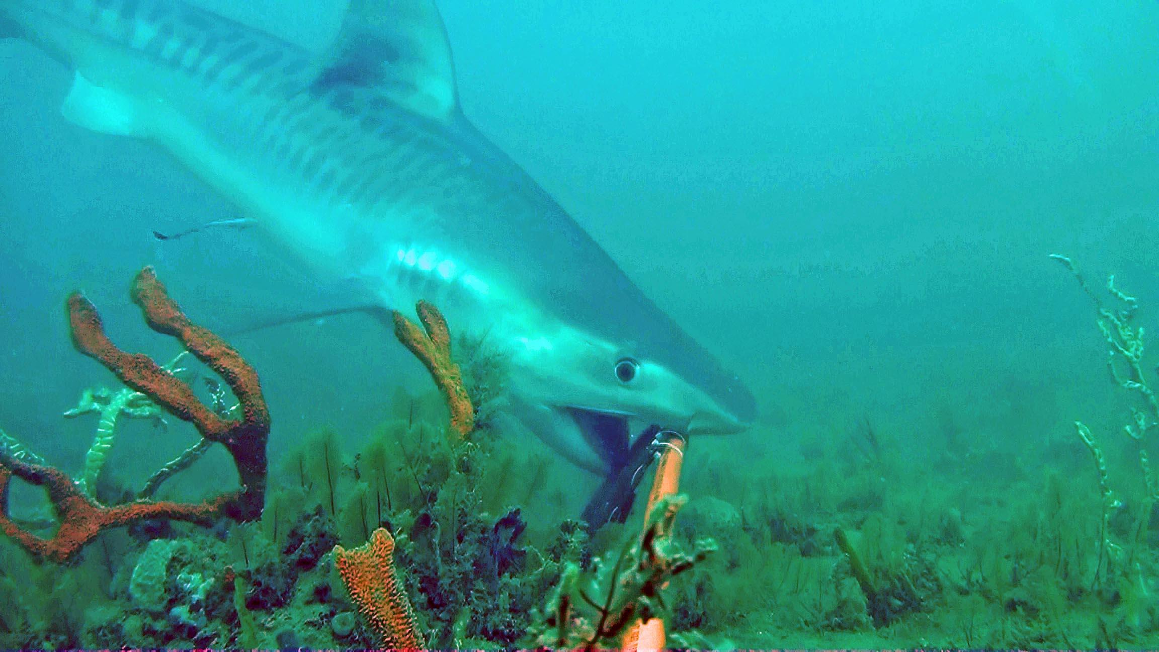 Tiger Shark 3