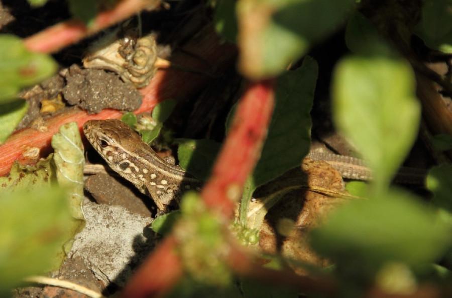 даже ящерицы подмосковья чем кормить фото сделать цветок