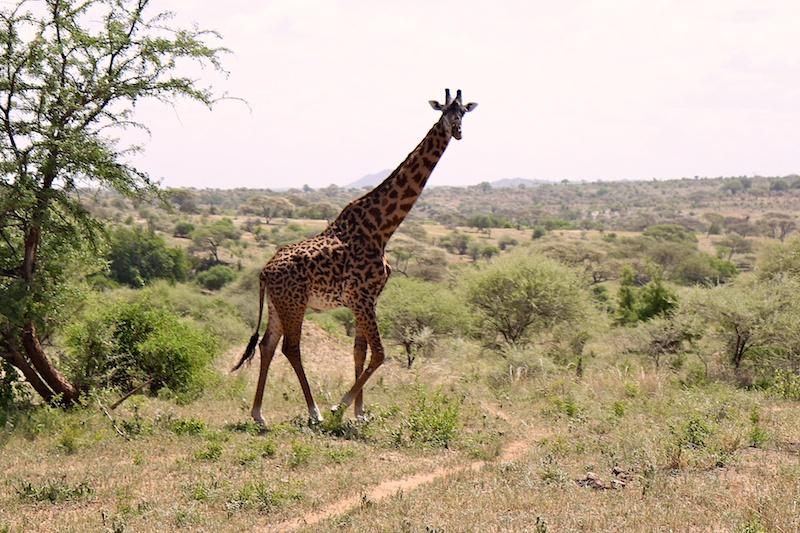 Жираф в Центральной Африке