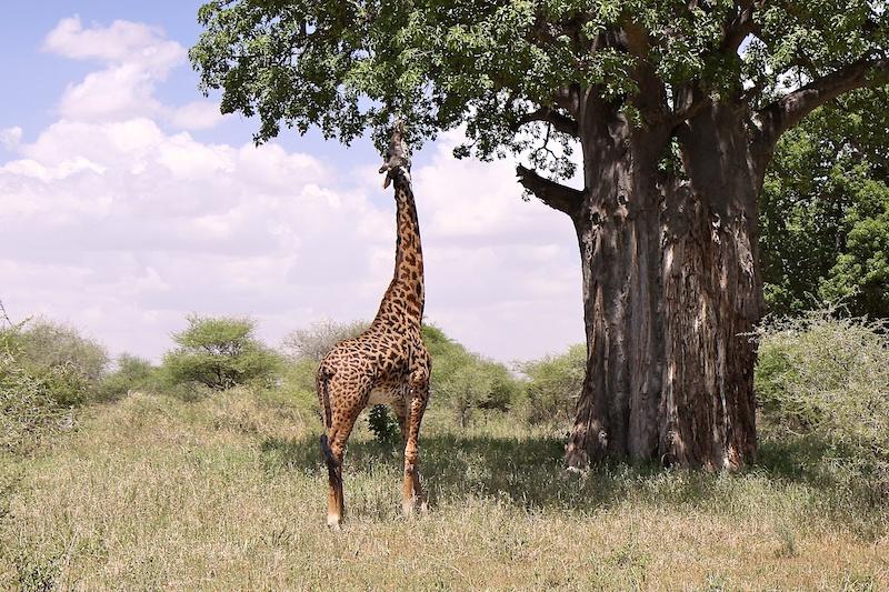 Питание жирафа