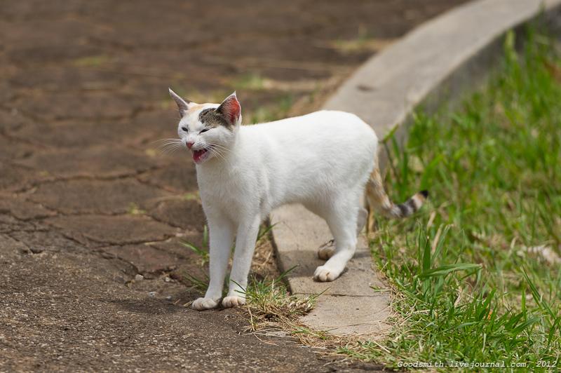 Маврикийский мяукающий кот - замечен нами на смотровой площадке одного из водопадов
