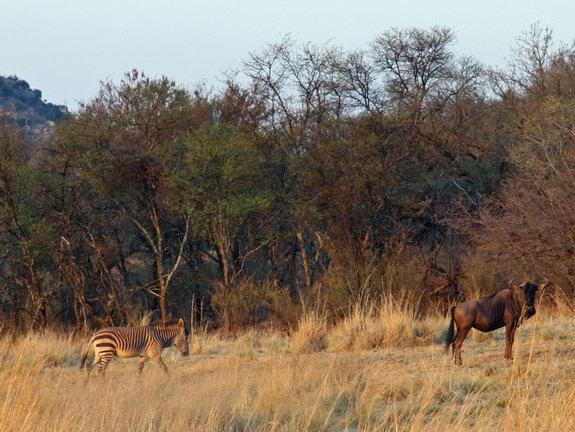 Зебра и антилопа гну (?)