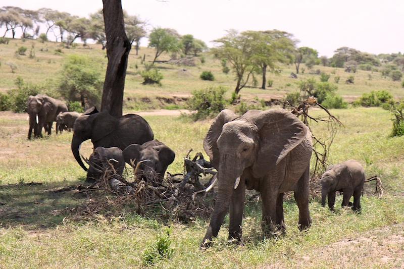 Толпы слонов