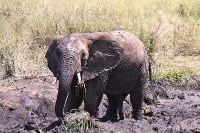 Слон в грязи
