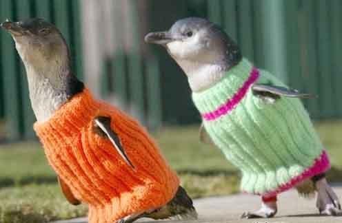 pingvinpulcsi