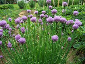 800px-Allium_schoenoprasum_a1 (1)
