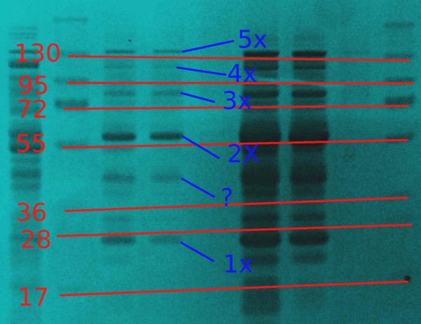 protein-zebra2