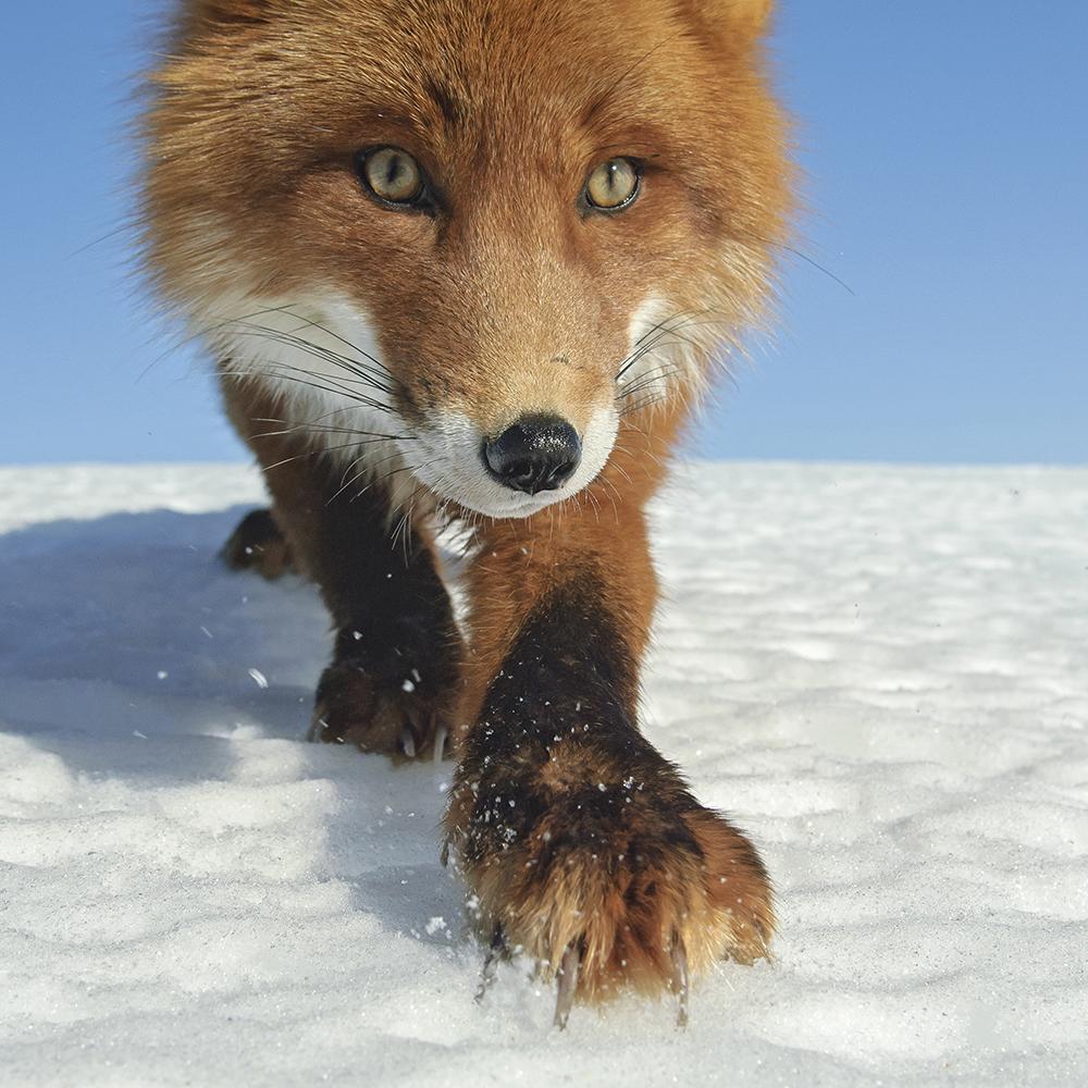 Fox_0093