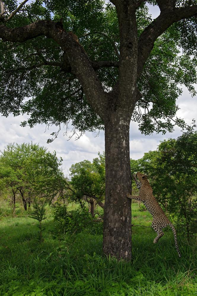 Leopard_1592