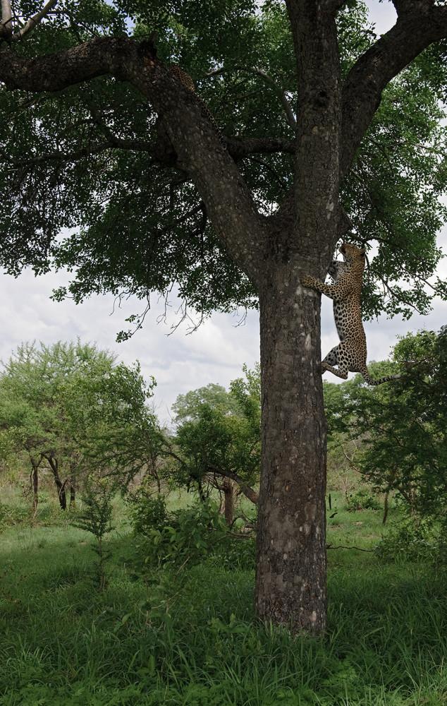 Leopard_1600