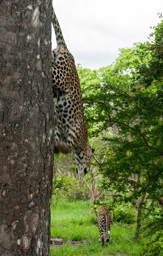 Leopard_1618