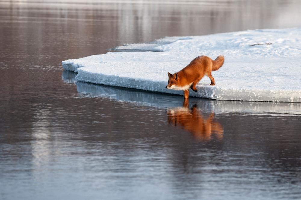 Fox_0269