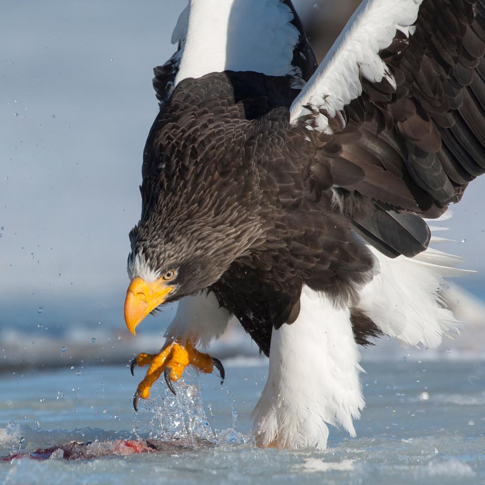 Stellers sea eagle_0379
