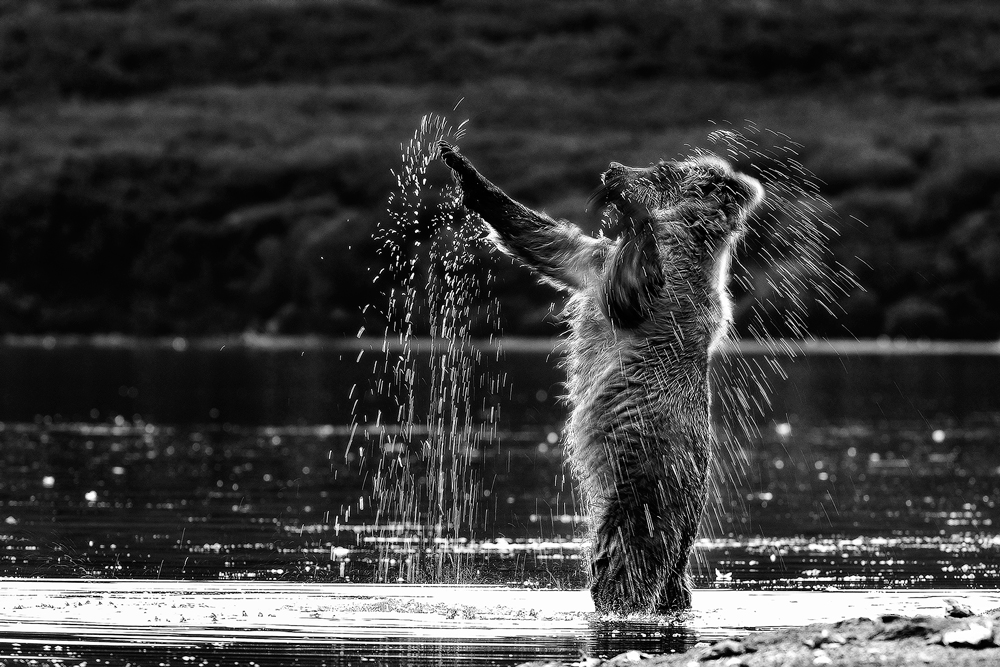 Black-and-White_Bear-and-the-water-splashing