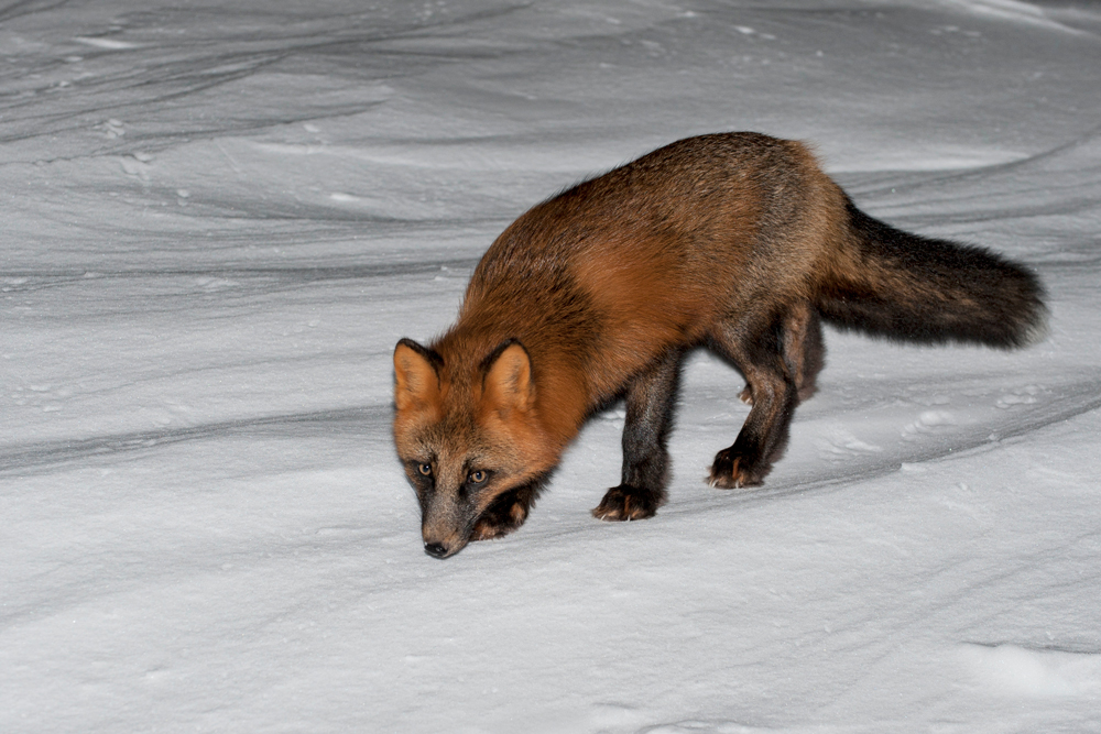 Fox_0406
