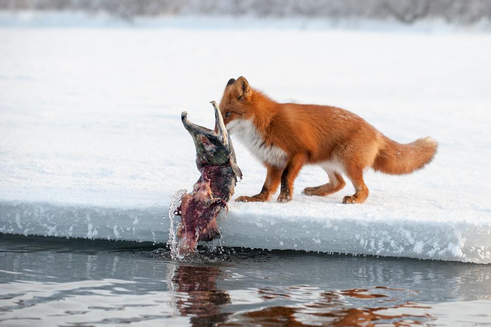 КАМЧАТСКАЯ ОДИССЕЯ. ГОЛОД НЕ ТЕТКА. Fox_0252