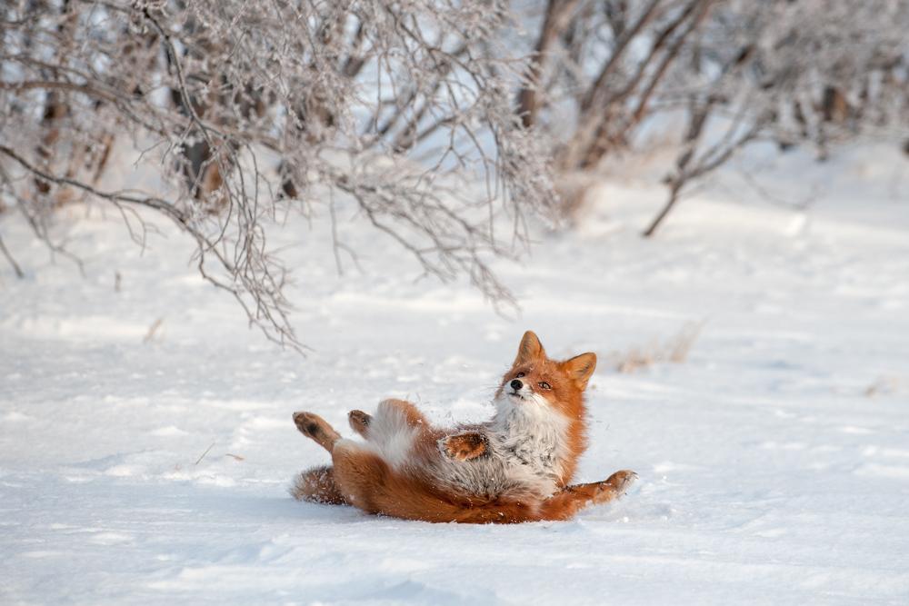 КАМЧАТСКАЯ ОДИССЕЯ. ГОЛОД НЕ ТЕТКА. Fox_0261