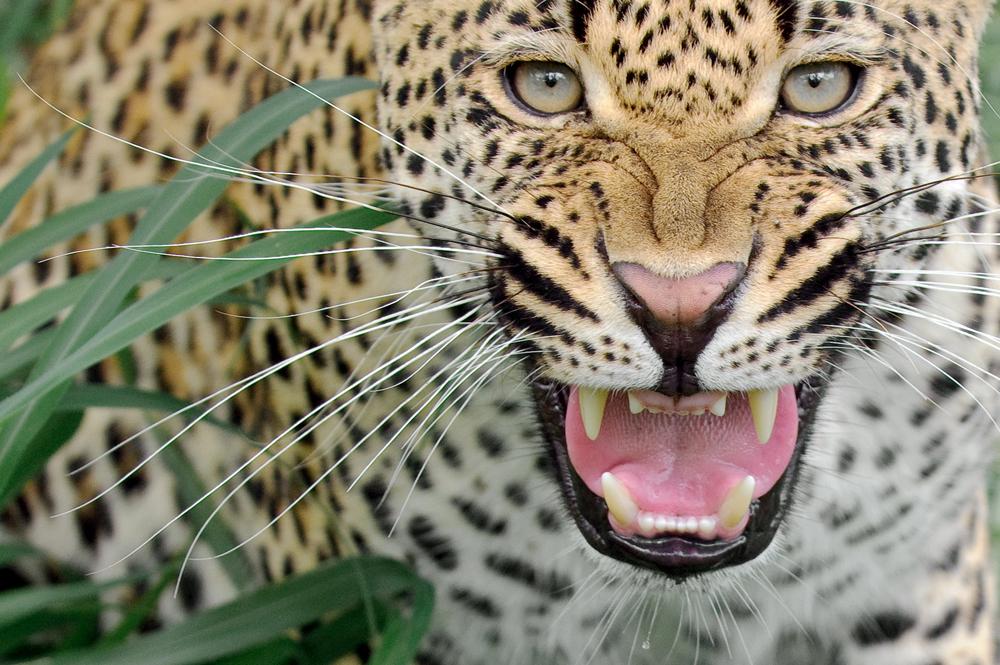 036-Leopard_2916-копия