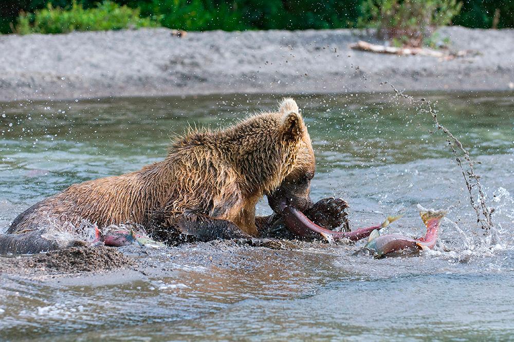 Bear_01595