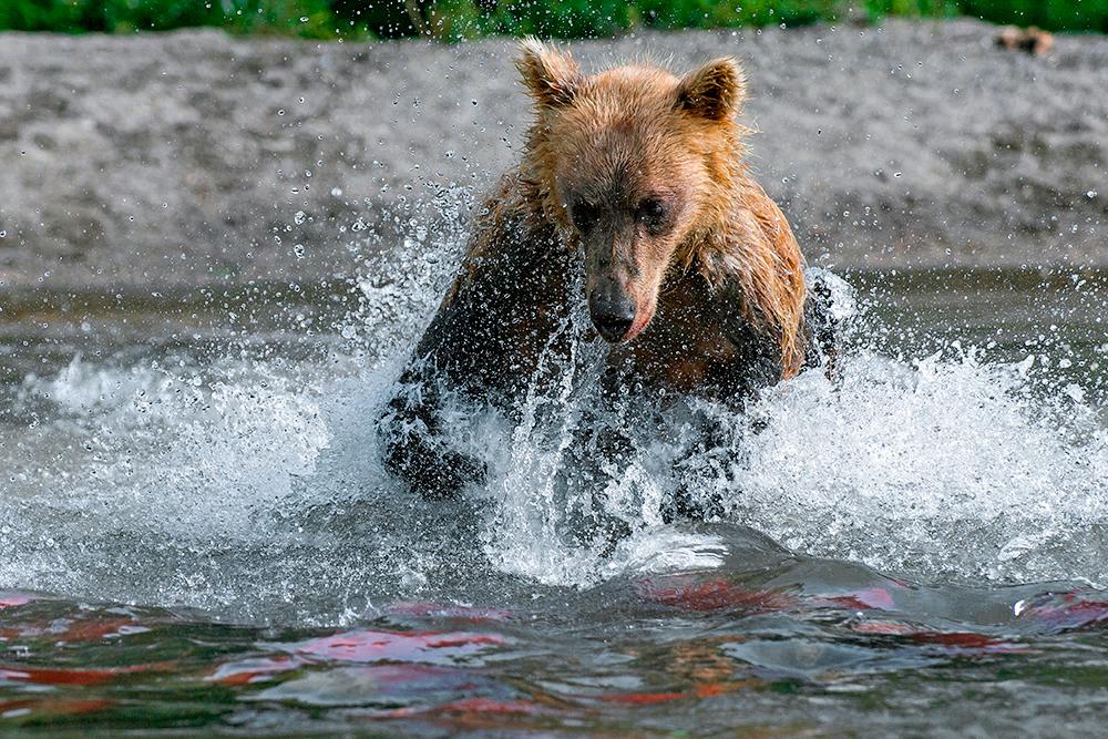 Bear_01594