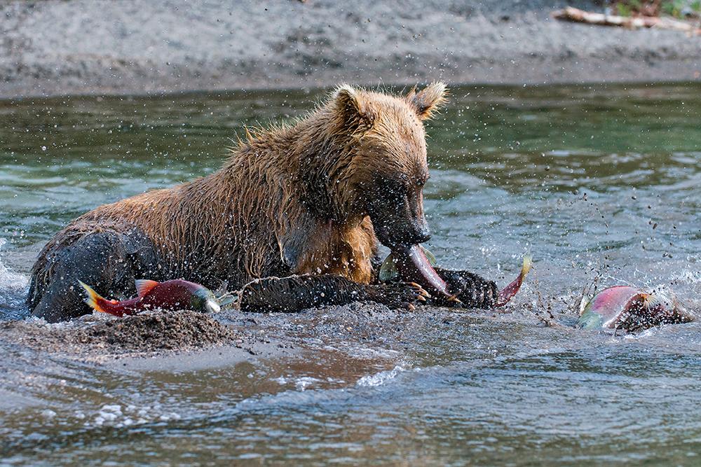 Bear_01596