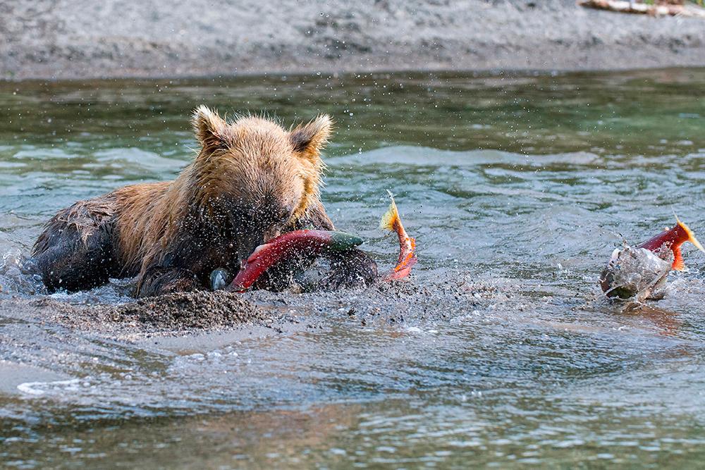 Bear_01597