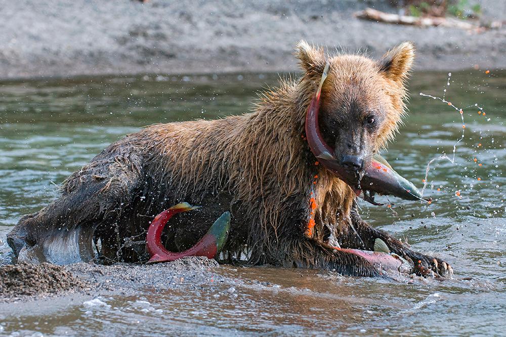 Bear_01599