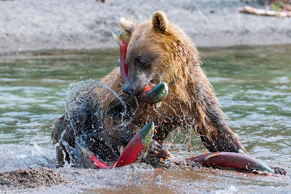 Bear_01600