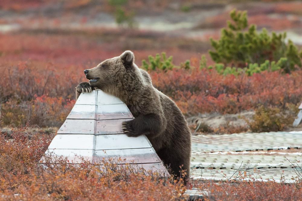 Bear_02700