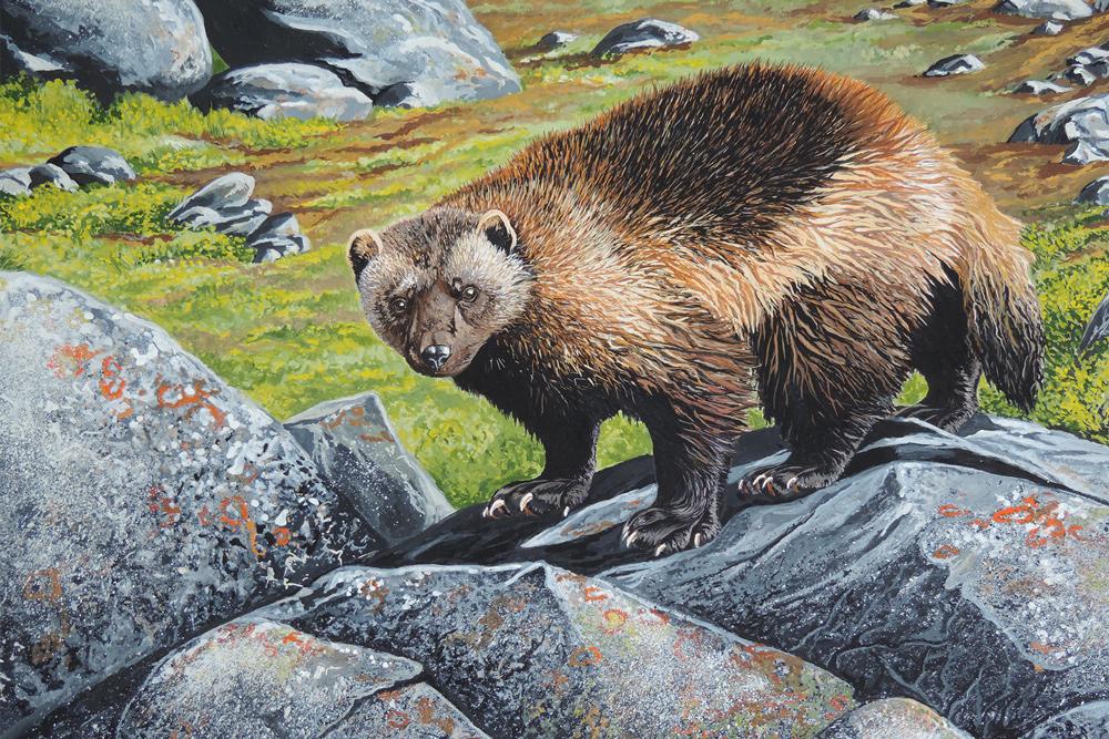 Wolverine-Painting.-Alaska.-J.-Cain-012