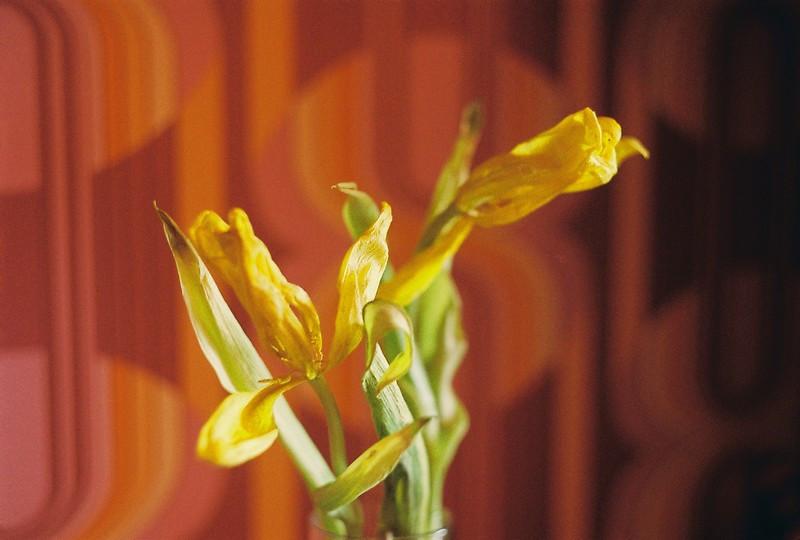 Тюльпан в январе