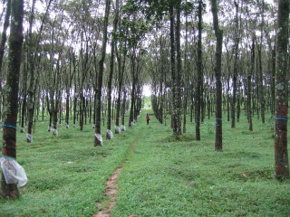 Rubber plantation, Wayanad, Kerala