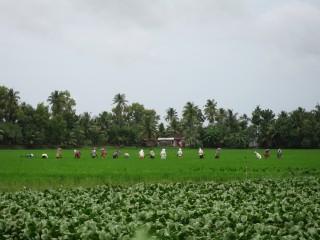 Paddy workers, Kuttanad, Kerala