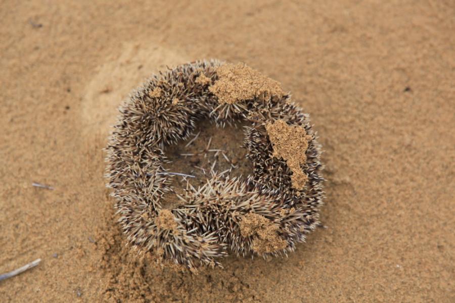 В Сарыкумах водится множество разнообразной фауны