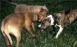 Внутривидовая агрессия у собак