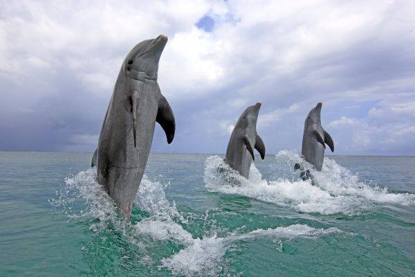 dolphin_n