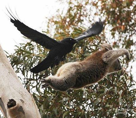 летучий коала