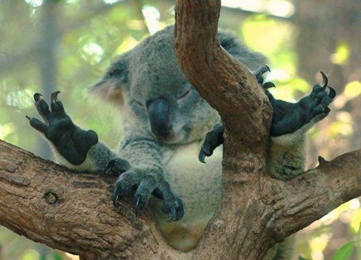 коала спит